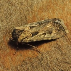 Agrotis munda (Brown Cutworm) at Conder, ACT - 25 Oct 2019 by michaelb