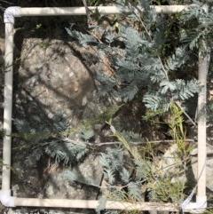 Acacia dealbata (Silver Wattle) at Molonglo Gorge - 19 Oct 2019 by Manta