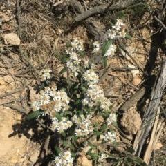 Olearia lirata (Snowy Daisybush) at Craigie, NSW - 27 Oct 2019 by BlackFlat