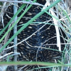 Tachyglossus aculeatus (Short-beaked Echidna) at Meroo National Park - 27 Oct 2019 by GLemann