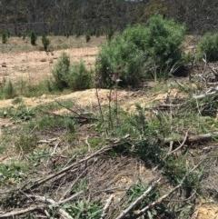 Indigofera australis subsp. australis (Australian Indigo) at Craigie, NSW - 27 Oct 2019 by BlackFlat