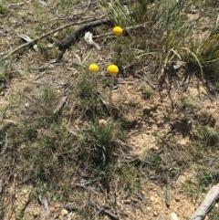 Craspedia variabilis (Billy Button) at Craigie, NSW - 27 Oct 2019 by BlackFlat