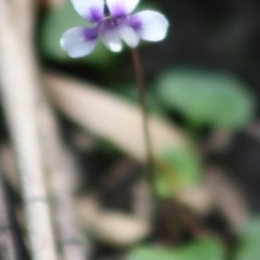 Viola hederacea (Ivy-leaved Violet) at Budawang, NSW - 27 Oct 2019 by LisaH