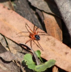 Nicodamidae sp. (family) (Red and Black Spider) at Budawang, NSW - 27 Oct 2019 by LisaH