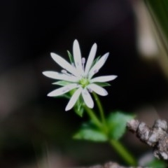 Stellaria flaccida (Forest Starwort) at Budawang, NSW - 27 Oct 2019 by LisaH