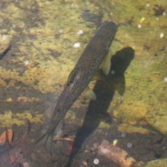 Salmo trutta (Brown Trout) at Budawang, NSW - 27 Oct 2019 by LisaH