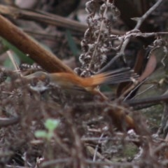 Rhipidura rufifrons (Rufous Fantail) at Budawang, NSW - 27 Oct 2019 by LisaH