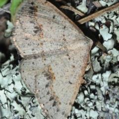 Taxeotis intextata (Looper Moth, Grey Taxeotis) at Bruce, ACT - 27 Oct 2019 by Harrisi
