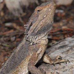 Pogona barbata (Eastern Bearded Dragon) at ANBG - 24 Oct 2019 by Tim L