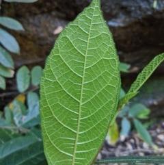 Ficus coronata (Creek Sandpaper Fig) at Bundanoon, NSW - 27 Oct 2019 by Margot