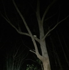 Petauroides volans (Greater Glider) at Budderoo National Park - 28 Oct 2019 by Joybrook