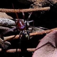 Habronestes bradleyi (Bradley's ant-eating spider) at Aranda Bushland - 28 Oct 2019 by Kurt