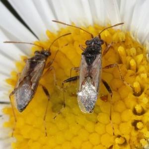 Nysius sp. (genus) at Kambah, ACT - 28 Oct 2019