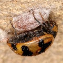 Coccinella transversalis (Transverse Ladybird) at Kambah, ACT - 28 Oct 2019 by Marthijn