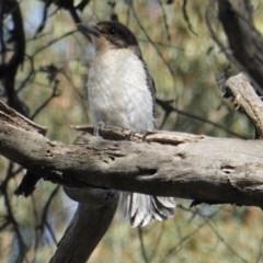 Cracticus torquatus (Grey Butcherbird) at Hughes Grassy Woodland - 28 Oct 2019 by JackyF