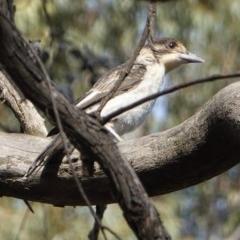 Cracticus torquatus at Hughes Grassy Woodland - 28 Oct 2019