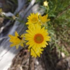 Xerochrysum viscosum (Sticky everlasting) at Hughes Grassy Woodland - 28 Oct 2019 by JackyF