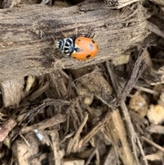 Hippodamia variegata (Spotted Amber Ladybird) at Berry, NSW - 26 Oct 2019 by Andrejs