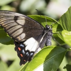 Papilio aegeus (Orchard Swallowtail) at Higgins, ACT - 28 Oct 2019 by AlisonMilton