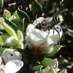 Megachile (Eutricharaea) maculariformis at Brogo, NSW - 29 Oct 2019
