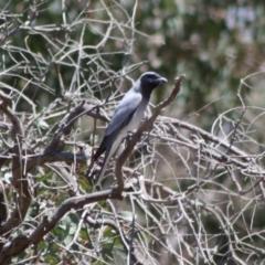Coracina novaehollandiae at Red Hill Nature Reserve - 29 Oct 2019