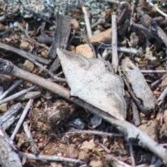 Taxeotis intextata (Looper Moth, Grey Taxeotis) at Hughes Grassy Woodland - 29 Oct 2019 by LisaH