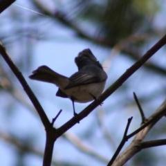 Myiagra rubecula (Leaden Flycatcher) at Deakin, ACT - 29 Oct 2019 by LisaH