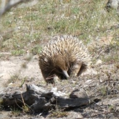Tachyglossus aculeatus (Short-beaked Echidna) at Theodore, ACT - 28 Oct 2019 by Owen
