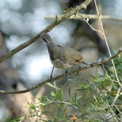 Acanthiza pusilla (Brown Thornbill) at Burradoo - 29 Oct 2019 by Snowflake