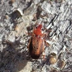 Philophloeus sp. (genus) at Aranda Bushland - 29 Oct 2019