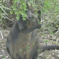 Wallabia bicolor (Swamp Wallaby) at Hackett, ACT - 25 Oct 2019 by Louisab
