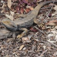 Pogona barbata (Eastern Bearded Dragon) at Hughes Grassy Woodland - 29 Oct 2019 by kieranh
