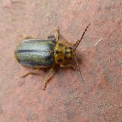 Xanthogaleruca luteola (Elm leaf beetle) at Flynn, ACT - 30 Oct 2019 by Christine