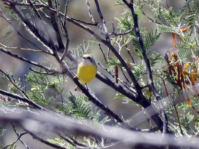 Gerygone olivacea at Gigerline Nature Reserve - 29 Oct 2019