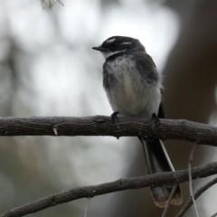 Rhipidura albiscapa (Grey Fantail) at Majura, ACT - 21 Sep 2019 by jbromilow50