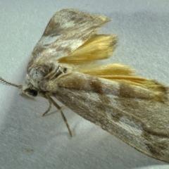 Anestia (genus) at Kambah, ACT - 30 Oct 2019