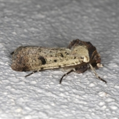 Agrotis porphyricollis at Ainslie, ACT - 26 Oct 2019