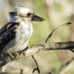 Dacelo novaeguineae (Laughing Kookaburra) at Red Hill Nature Reserve - 25 Oct 2019 by BIrdsinCanberra