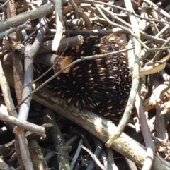 Tachyglossus aculeatus (Short-beaked Echidna) at Mittagong - 29 Oct 2019 by Margot