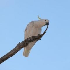 Cacatua galerita (Sulphur-crested Cockatoo) at Mount Ainslie - 5 Oct 2019 by jbromilow50