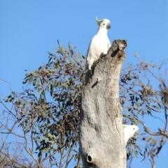 Cacatua galerita (Sulphur-crested Cockatoo) at Mount Ainslie - 18 Oct 2019 by jbromilow50