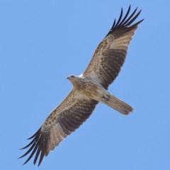 Haliastur sphenurus (Whistling Kite) at Jerrabomberra Wetlands - 31 Oct 2019 by Marthijn