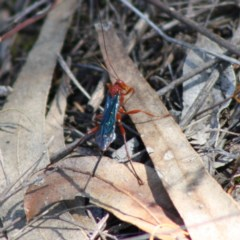Lissopimpla excelsa (Orchid dupe wasp) at Red Hill Nature Reserve - 31 Oct 2019 by LisaH