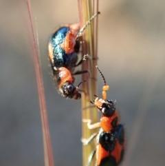 Dicranolaius villosus (Melyrid flower beetle) at Kuringa Woodlands - 31 Oct 2019 by Laserchemisty