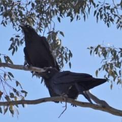 Corvus coronoides (Australian Raven) at Deakin, ACT - 31 Oct 2019 by JackyF