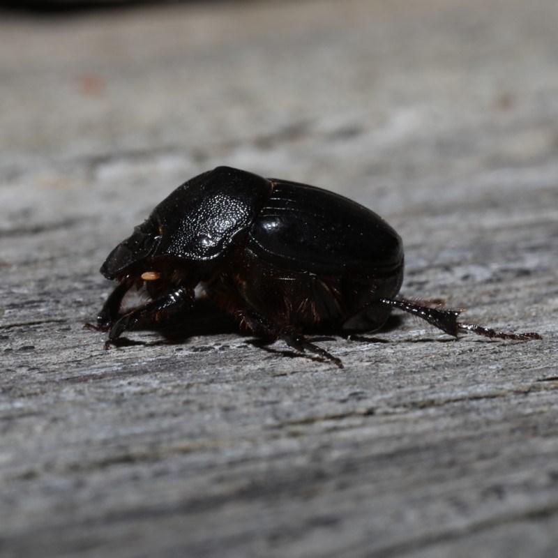 Onthophagus declivis at Ainslie, ACT - 29 Oct 2019