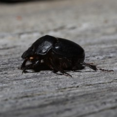 Onthophagus declivis (Declivis dung beetle) at Ainslie, ACT - 29 Oct 2019 by jbromilow50