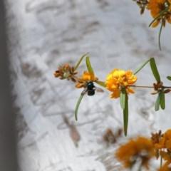 Xylocopa aeratus (Metallic Green Carpenter Bee) at ANBG - 30 Oct 2019 by TimL