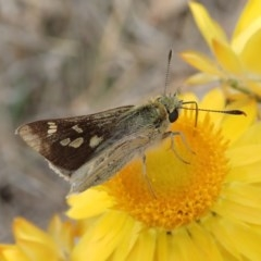Trapezites luteus (Yellow Ochre, Rare White-spot Skipper) at Mount Painter - 30 Oct 2019 by CathB