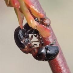 Ditropidus sp. (genus) (TBC) at Aranda Bushland - 30 Oct 2019 by CathB